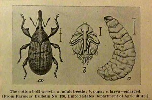 Boll_weevil_illustration